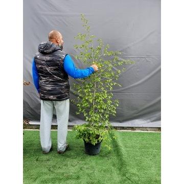 GRAB POSPOLITY Carpinus Betulus DUŻY 2 METRY
