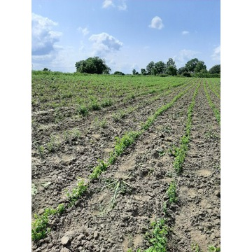 Tarczyca bajkalska  nasiona 150 sztuk