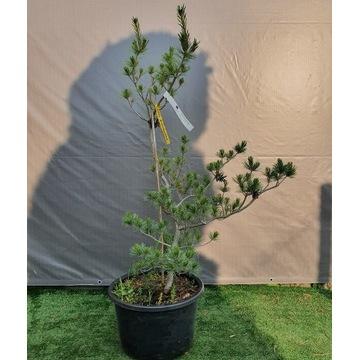 Pinus parviflora sosna drobnokwiatowa Glauca 150cm