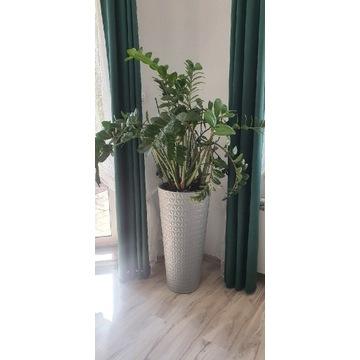 Zimokulkas zielonolistny