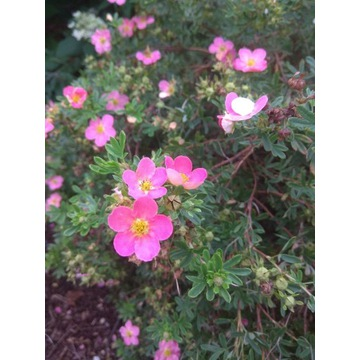 krzew pięciornik różowy - likwidacja ogrodu