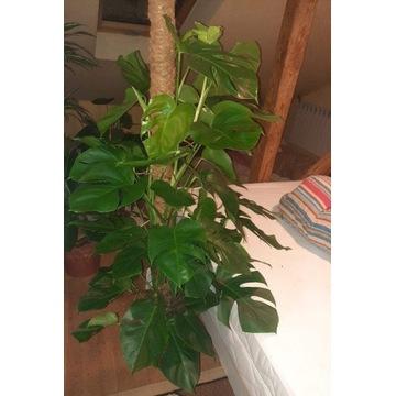 Monstera Moss doniczka 26 cm