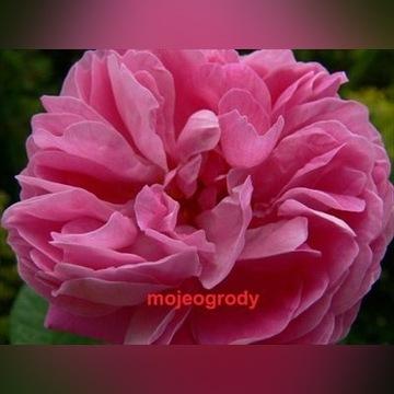 Róża stulistna, centyfolia rzadkość, rarytas sadz