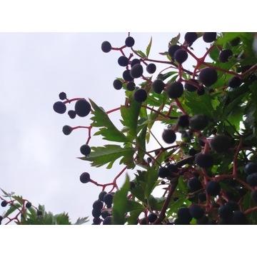 winobluszcz pięciolistkowy  dzikie wino 30-60 cm
