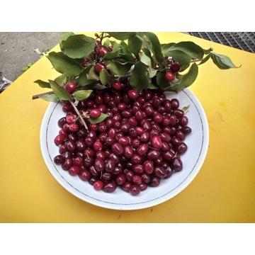 owoce derenia jadalnego