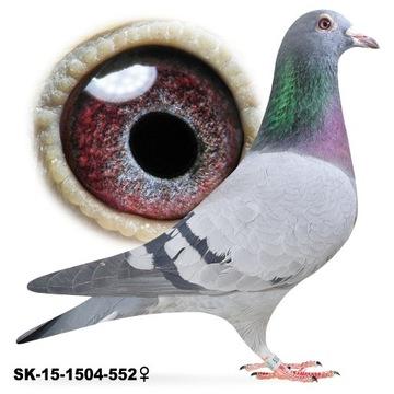 Samica SK-2015 z rozpłodu gołąb gołębie pocztowe
