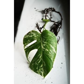 Monstera variegata ukorzeniona, rosnąca