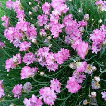 Zawciąg nadmorski- różowy