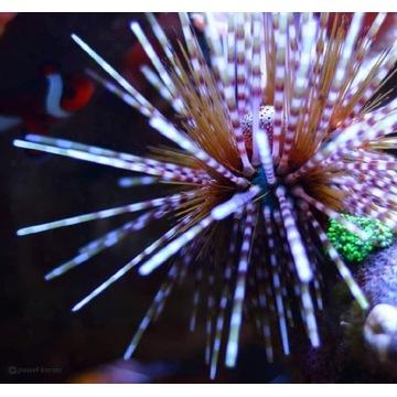 Jeżowiec Echinotrix calamaris