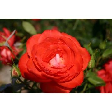 Piękna Polska Róża pnąca pomarańczowa