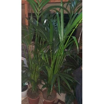 Howea Kentia Palm 27 cm