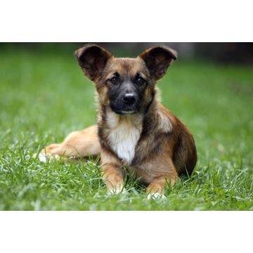 Pies Gaja (suczka)