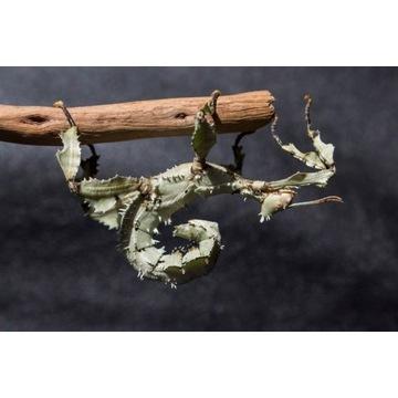 Straszyk australijski, 50 jaj, owady