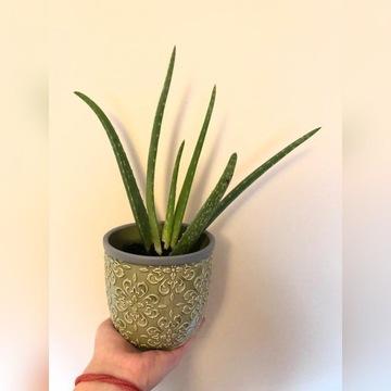 Roślina Aloes Vera zwyczajny 23 cm