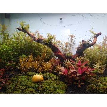 Rośliny akwariowe, mega paka, duże rośliny