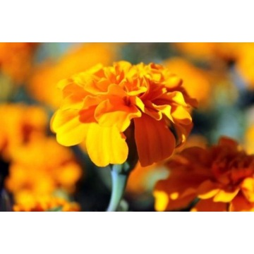 Aksamitka Petite Orange-rozpierzchła. Sadzonka.