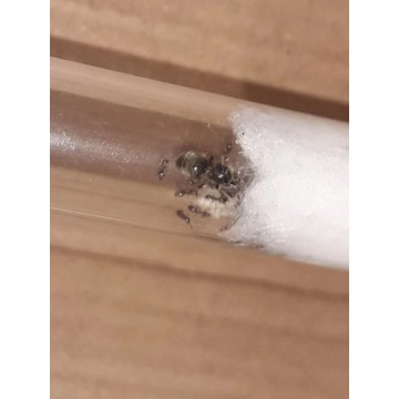 Mrówki - Królowa lasius niger z robotnicami.