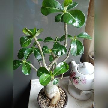 Kaktus Adenium Caudex