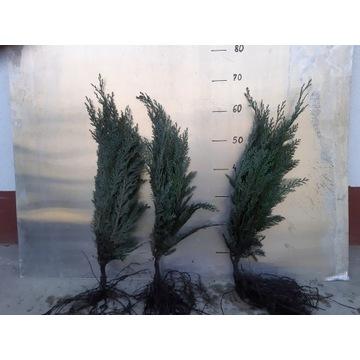 Cyprys lawsona 50 cm - 60 cm HURT.