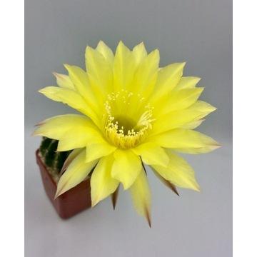 Kaktus echinopsis hybryd