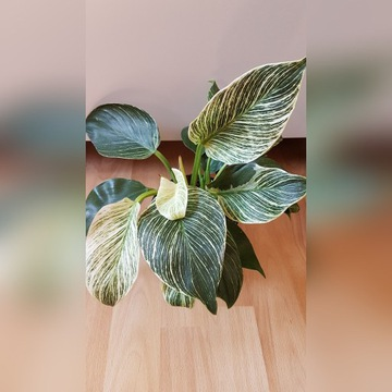Philodendron Birkin filodendron kolekcjonerski