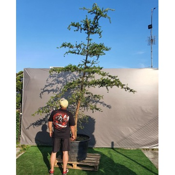 Pinus contorta sosna wydmowa 6 metrów gigant