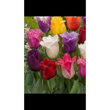 Tulipan Fridged 5 szt. mix