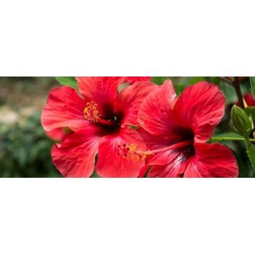 Róża chińska domowa 160cm! Piękne drzewo! HIBISKUS