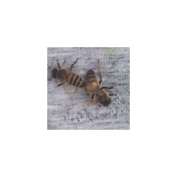 Sprzedam matkę pszczelą Buckfast KB nieunasienioną