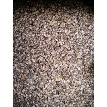 Konopia ziarno HENOLA nasiona