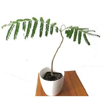 Delonix Regia Płomień Afryki najpiękniejsze drzewo