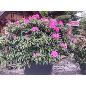 Rododendron Kolor Biskupi