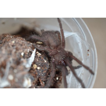 Chilobrachys sp. electric blue L4/5