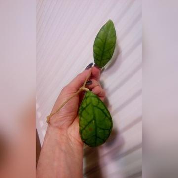 Hoya hybrid 'Black Cat' sadzonka ukorzeniona