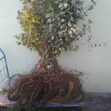 Brzoza pospolita 2 letnia 80cm komplet 50 sztuk