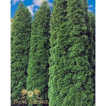 Thuja Tuja Szmaragd wysokie duże drzewa 6m