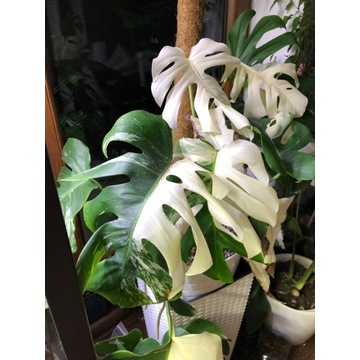Monstera Variegata, Philodendrony PAKIET