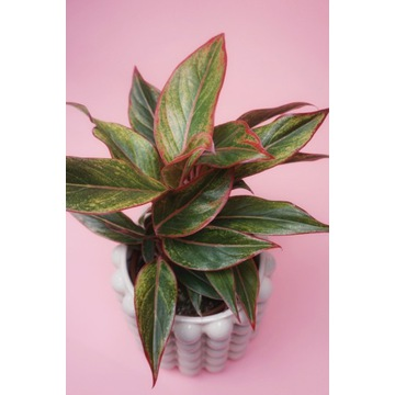 Aglaonema SIAM AURORA roślina doniczkowa