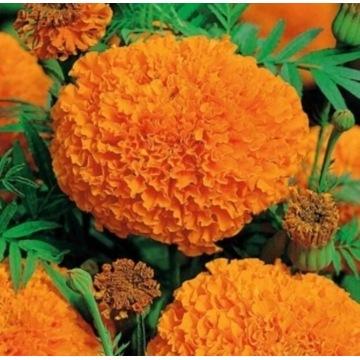 Aksamitka Hawaii. Sadzonka.duże pełne kwiaty.