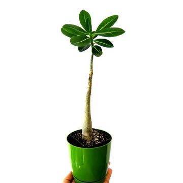 Adenium arabicum  sadzonka róża + nawóz GRATIS