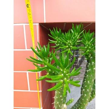 Kaktus rozgałęziony 86 cm wysokości