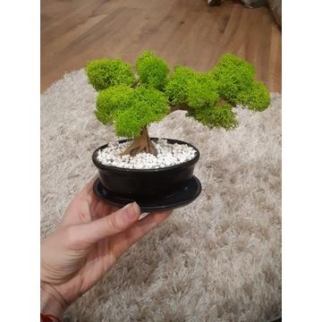 Drzewko bonsai z chrobotka, bezobsługowy bonsai