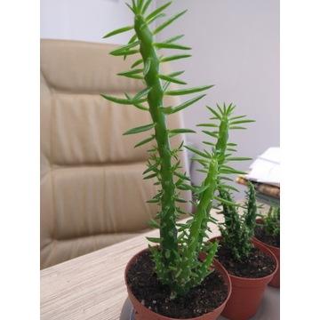 KAKTUS/WILCZOMLECZ Euphorbia mammillaris 30 PIĘKNY