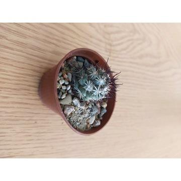Kaktusy Mammillaria shumannii
