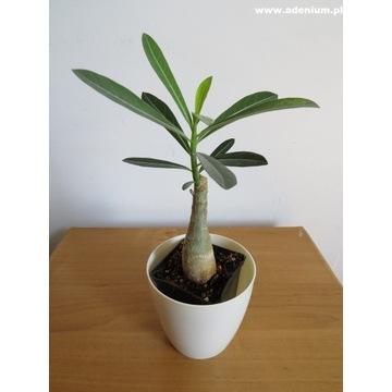 Adenium Somalense sadzonka bonsai + nawóz GRATIS