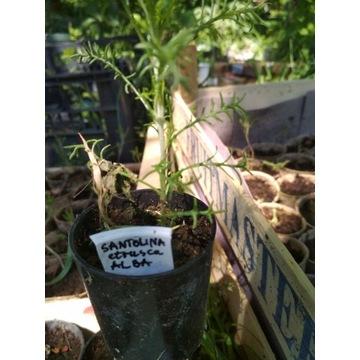 SANTOLINA ETRUSCA ALBA lecznicza zioło