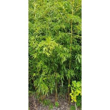 Bambus Phyllostachys Aureosulcata  duży !