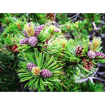 Pinus Mugo KOSODRZEWINA Sadzonki Tanio