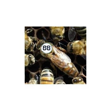 Matki Pszczele - BUCKFAST - jednodniowe 28-30 VI