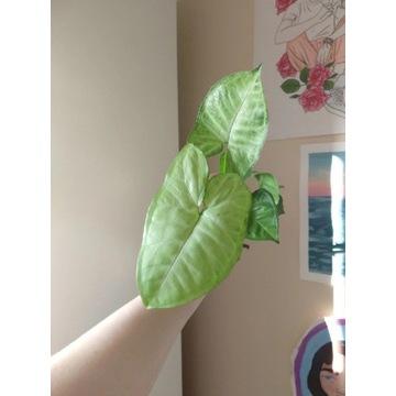 Syngonium white butterfly / arrow szczepka